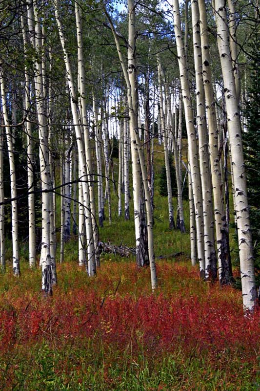 Red Brush & Aspens
