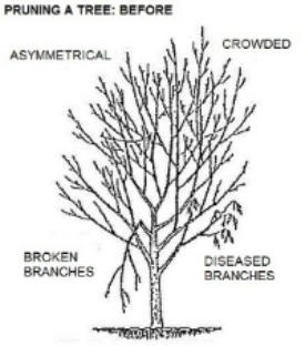 Typical needs of an unpruned tree: crowded foliage, asymmetrical shape, broken and diseased branches. Other reasons for pruning include controlling size and increasing the amount of sunlight to a window or to plants in the shade of the tree.