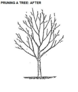 If you regularly prune to remove broken, diseased, crossing and asymmetrical (or out-of-place) branches, then you will reduce future problems and have a healthy, attractive tree.