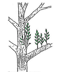 Water sprouts are the  rapidly growing, thick, soft shoots that appear after a tree suffers an abrupt, major change. They commonly appear after heavy pruning. They are not, however, strongly attached branches and rarely make good substitutes for the slower growing existing branches. Usually, water sprouts that do not fill a hole in the tree's framework are removed.
