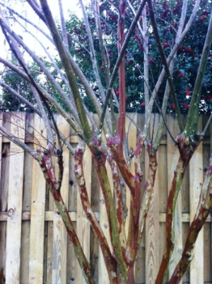 Crape Myrtle recovering from previous poor pruning. The new growth has almost matched the older trunk and soon won't even be noticeable. It would look even more natural if the repair cuts had been made at varying heights.