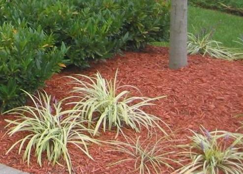 Red Colored Wood Mulch. This Mulch Has Improperly Been Placed Against The  Trunk Of The