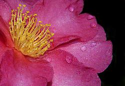 bigstock_Camellia_91297.jpg