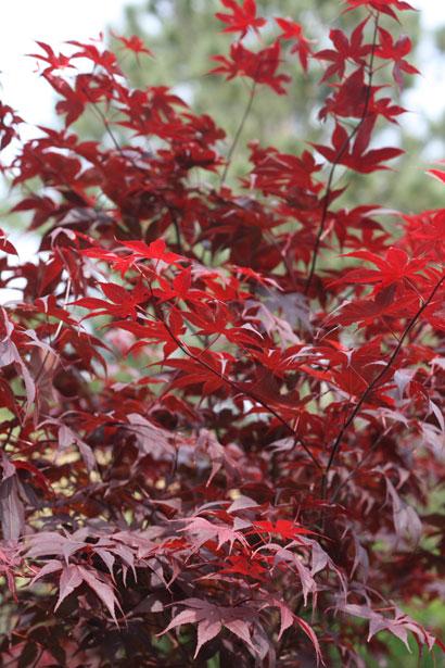 Best Japanese Maples For Sun