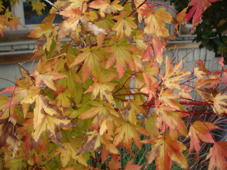 Sangu Kaku Japanese maple showing fall color & red stems.