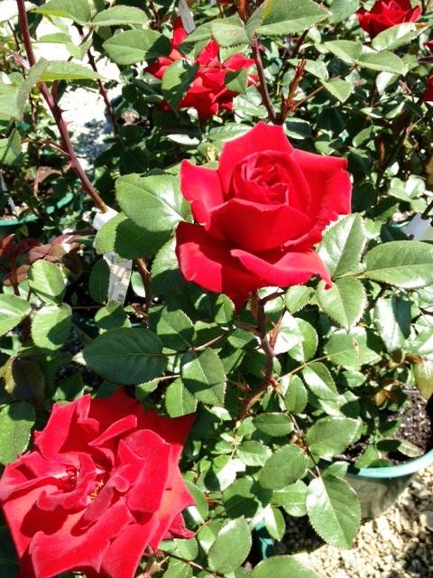 Rose 'Crimson Bouquet'