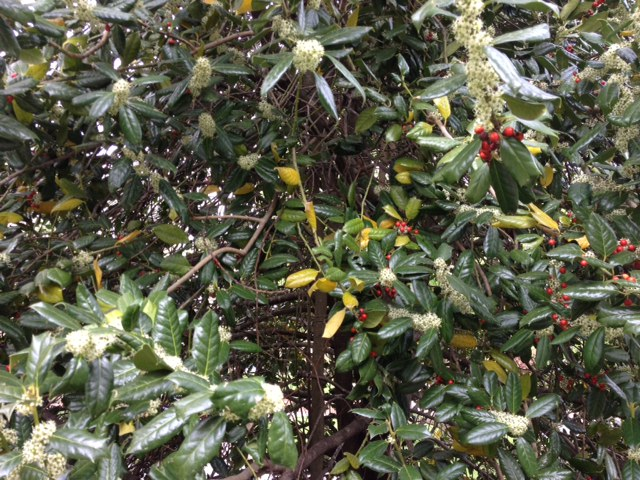 Yellowing and dropping of holly leaves is usually from the interior of the plant