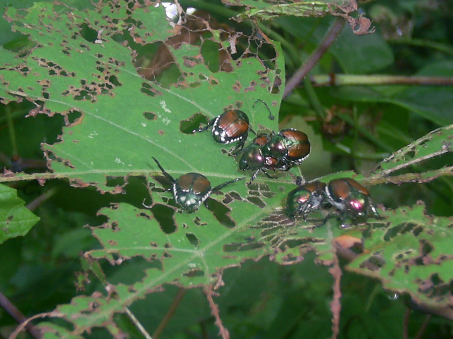 Japanese beetles skeletonizing a grape leaf