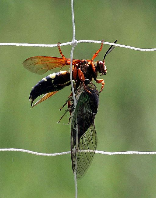 Female Cicada Killer with cicada