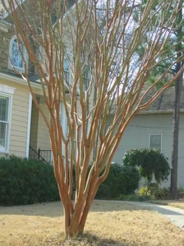 A nicely pruned, mature crape myrtle.