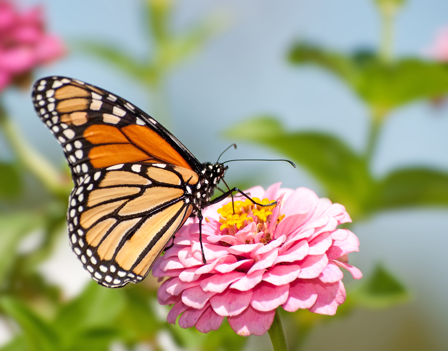 Monarch butterfly on Zinnia flower, a butterfly nectar plant