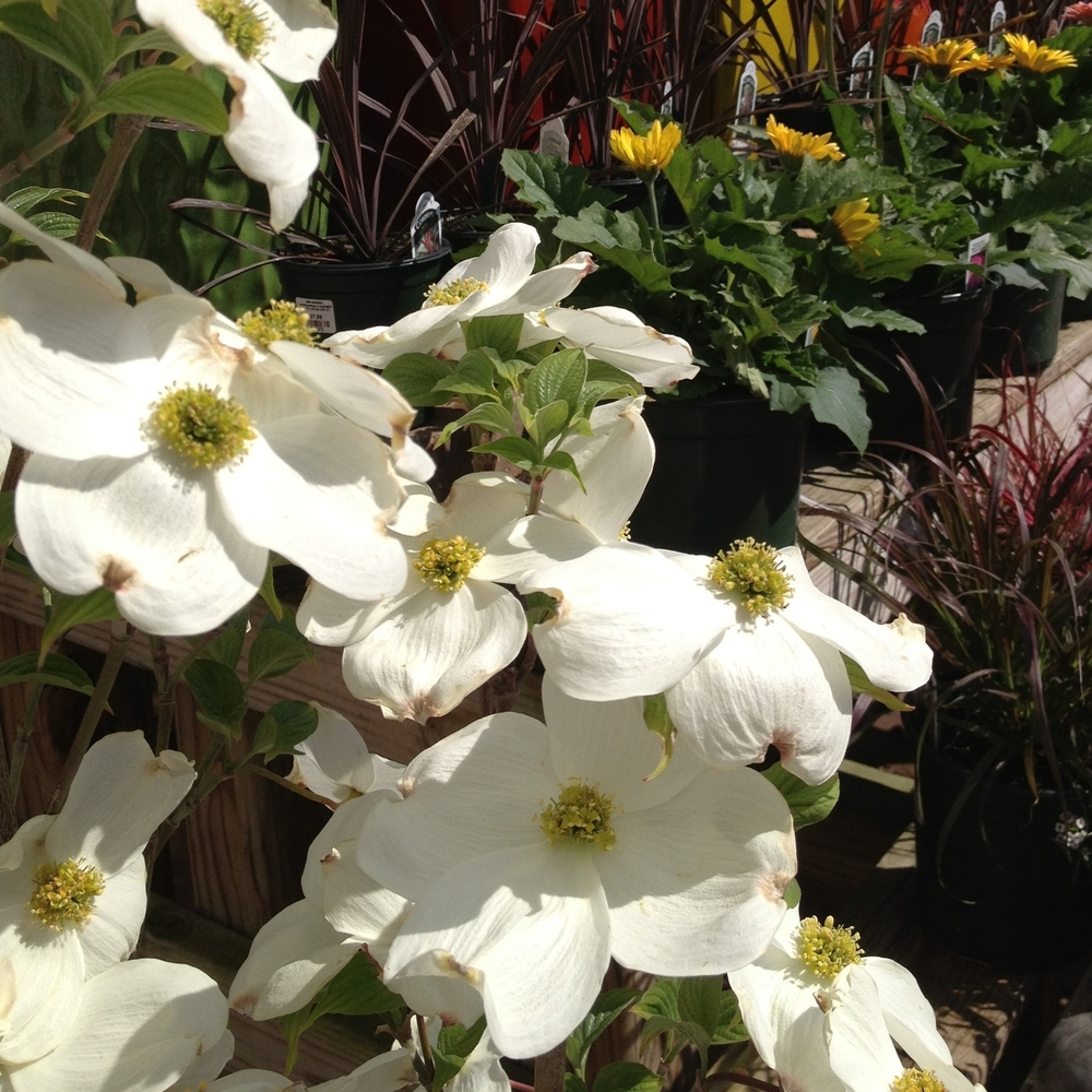 Dogwoods landscape trees with four season appeal cornus florida mightylinksfo