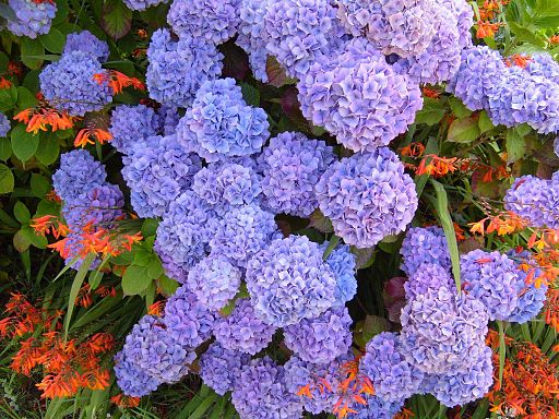 Blue Hydrangea macrophylla also looks stunning with orange flowers, like these crocosmia.