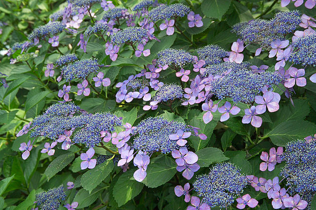 Macrophylla hydrangeas of the lacecap varieties have large, sterile florets surrounding smaller flowers, giving them an airy, lacey appearance.