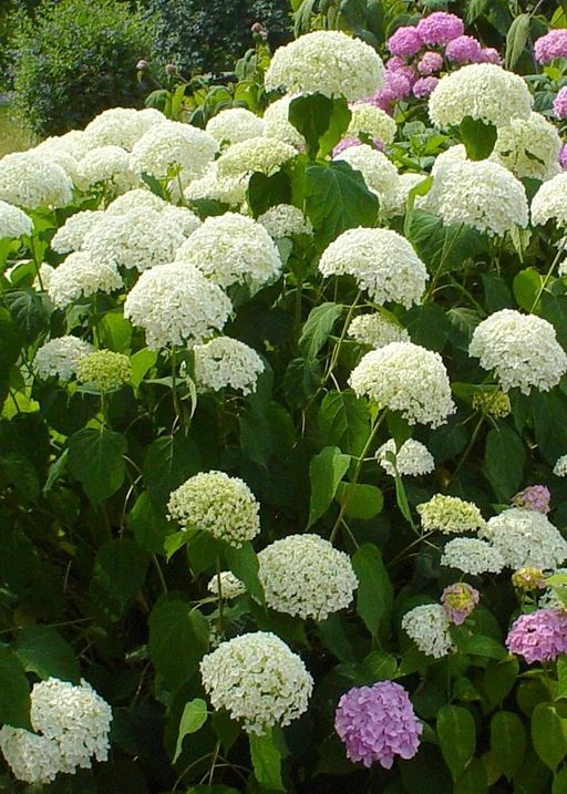 Fantastic 9 Frequent Hydrangea Questions Answered FS43