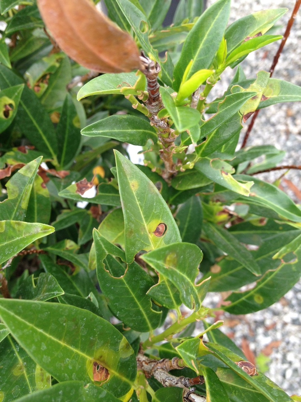 Here the disease is active, showing the brown leaf spots as they separate and fall out.