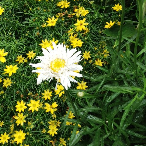 Leucanthemum Crazy Daisy & Coreopsis Zagreb.jpg