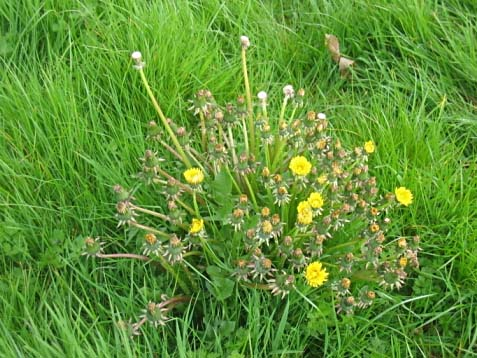 Fall Is The Ideal Time To Control Tough Perennial Weeds