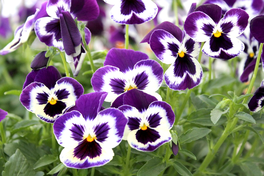 Heres What To Do For Tons Of Flowers On Your Pansies