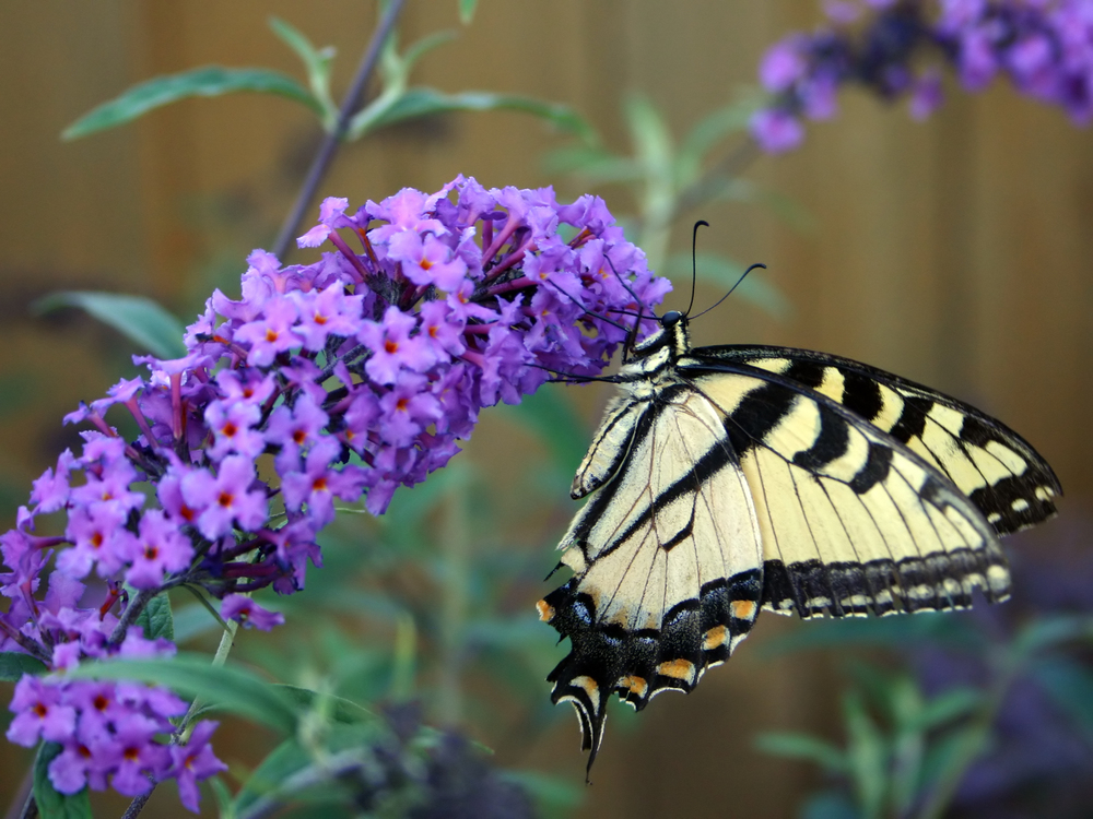 Pruning butterfly bush for Butterfly on flowers