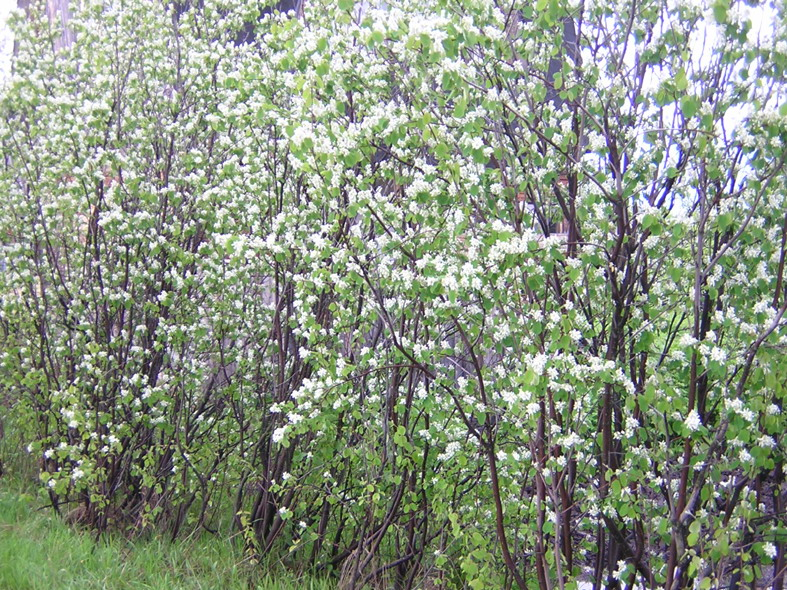 Amelanchier canadensis (Serviceberry) in bloom