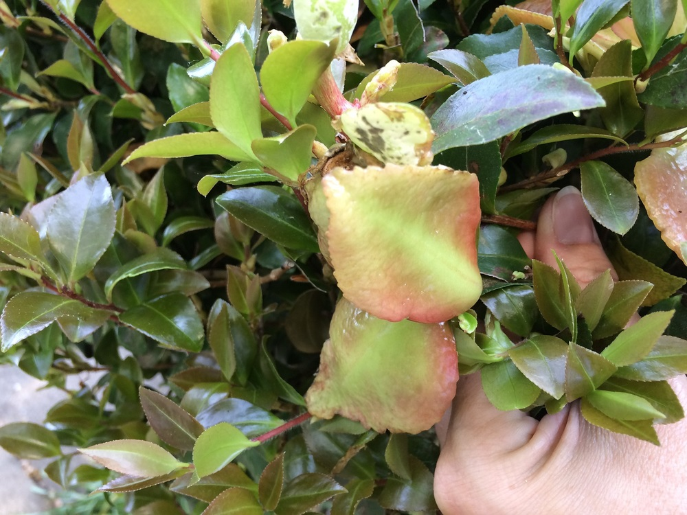 KC_5.13.15_camellia leaf gall (2).JPG