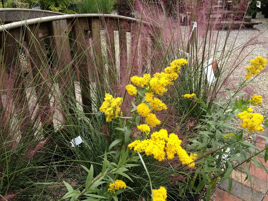 Goldenrod with pink muhley grass