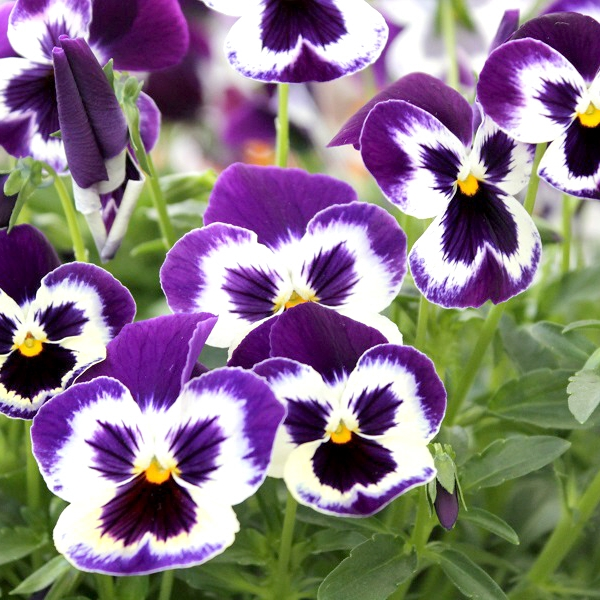 4 Reasons To Plant Your Pansies Early