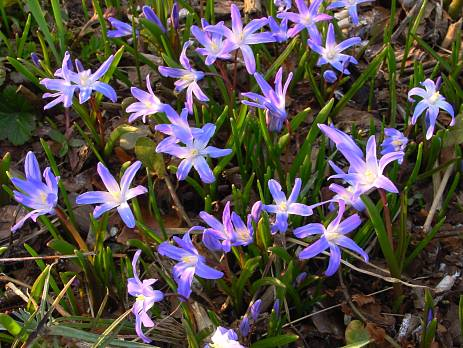 Chionodoxa (beauty-of-the-snow)