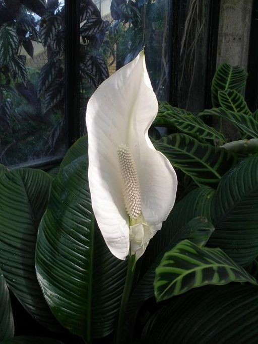 "The common name ""peace lily"" may come from the pure white flowers that look like white flags of surrender held above the plant."