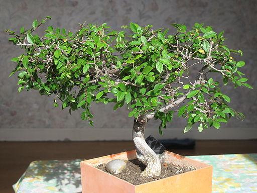 Dwarf Zelkova as bonsai, approx. 20 years old