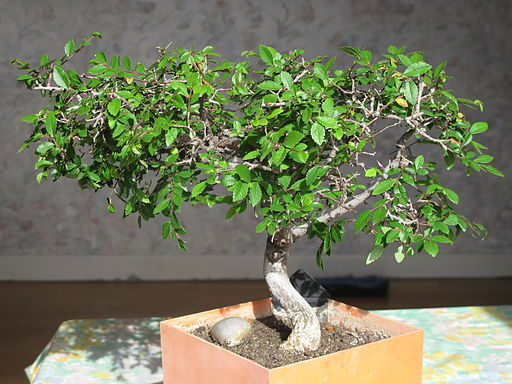 Basic Bonsai Care Hardy Types