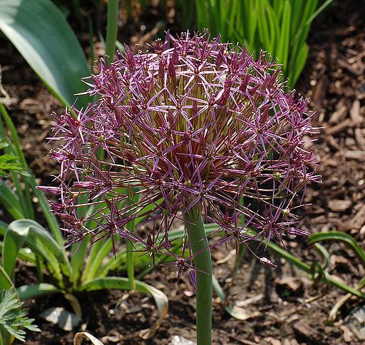 Allium christophii 'Rien Poortvliet'