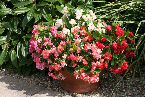 Begonia semperflorens-cultorum Photo credit: National Garden Bureau