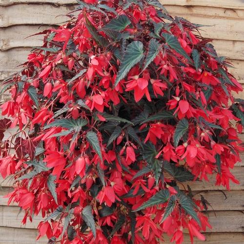 2016 Is Year Of The Begonia Begonia National Garden Bureau