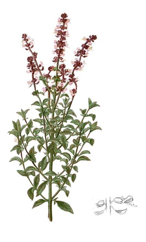 Ocimum basilicum, Basil