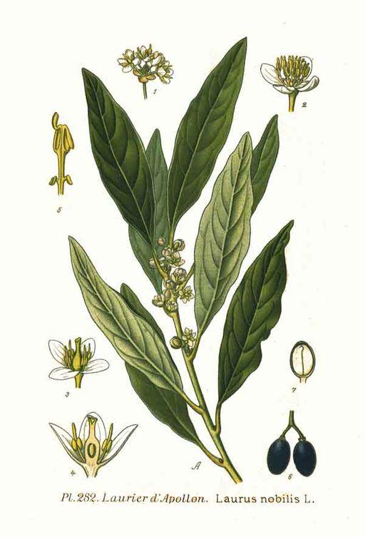 Laurus nobilis, Bayleaf