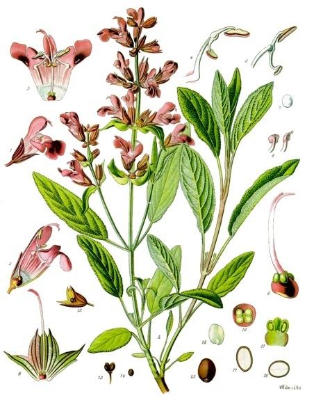 Salvia officinalis, Sage