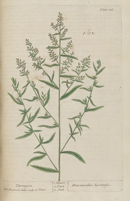 Artemisia dracunculus, Tarragon