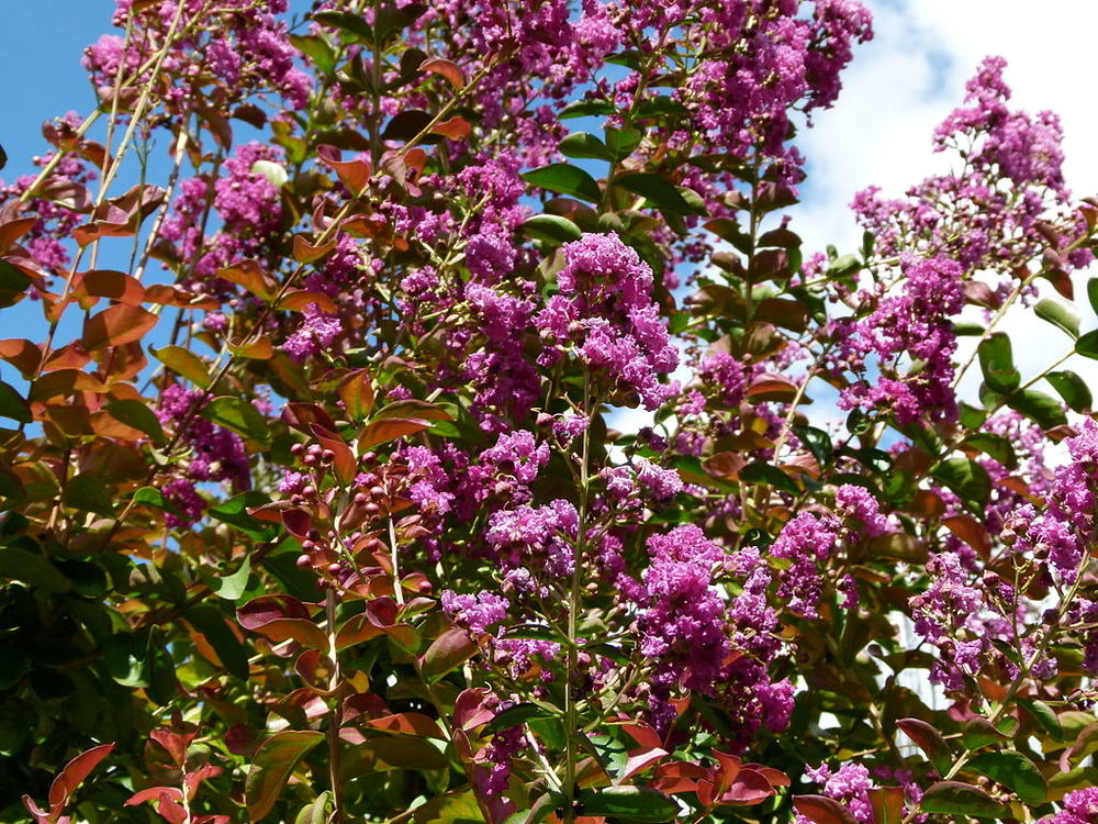It S Not Too Late To Prune Crape Myrtles