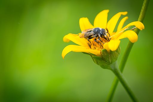 Leaf cutter bee on flower