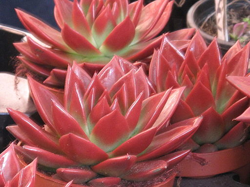 Brightly colored Echeveria