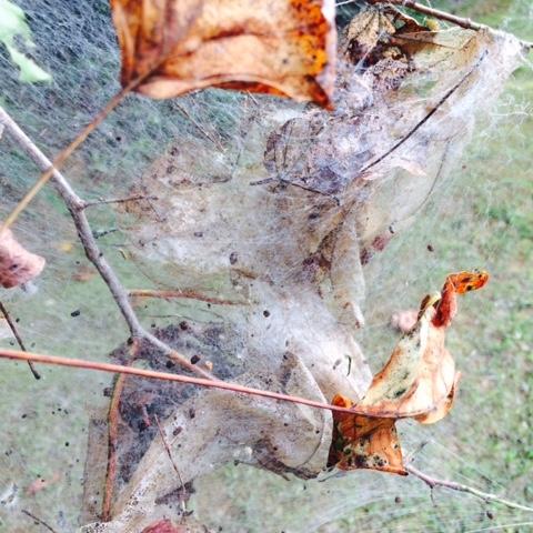 Wonderful Fall Webworm
