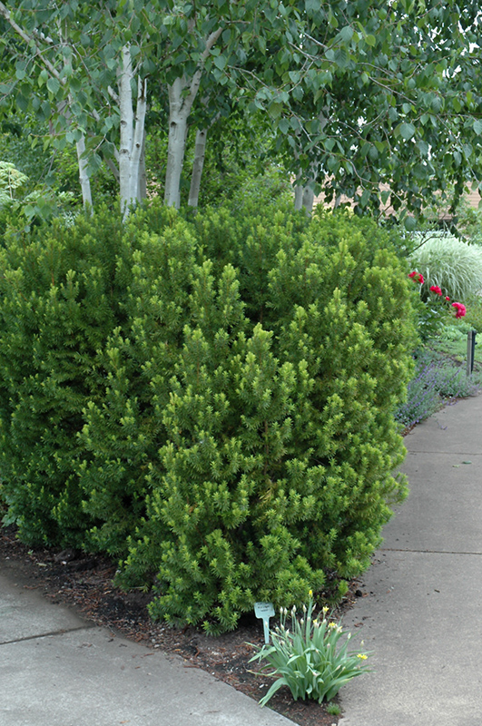 Yews - Hick's Yew and Brown's Yew (Taxus x media 'Hicksii' & 'Brownii') are beautiful, dark green shrubs that will tolerate shade.  Yews can be kept tightly trimmed for a formal appearance, or allowed to develop a feathery, natural form.  'Brownii' grows to about 6'-8' high and wide in 10 years, and 'Hicksii' has an upright habit to 10'-12' high and 3'-4' wide.  Female plants produce attractive red berries (which are toxic, so maybe think twice about planting female plants if you have small children).
