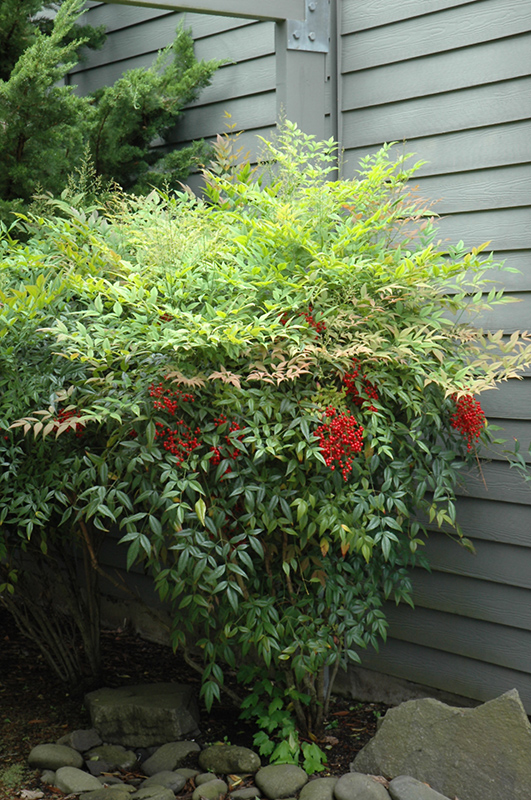 Nandina - Nandina tolerates a fair amount of shade and if pruned correctly can remain full from top to bottom for screening.   The foliage is lacy and attractive, turning red in fall (though the brilliant fall color may be muted in very shady areas.)  For height, choose the straight Nandina domestica  or 'Royal Princess', as opposed to the more compact cultivars like 'Harbor Belle' which only reach a few feet tall. (The popularity of compact Nandinas can make finding taller varieties difficult)