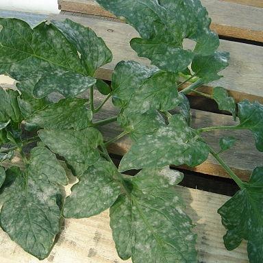 Powdery mildew on tomato leaf
