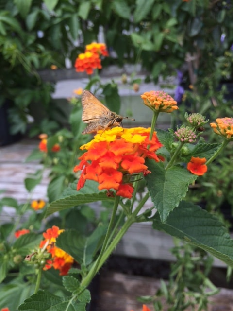 Butterflies love lantana!