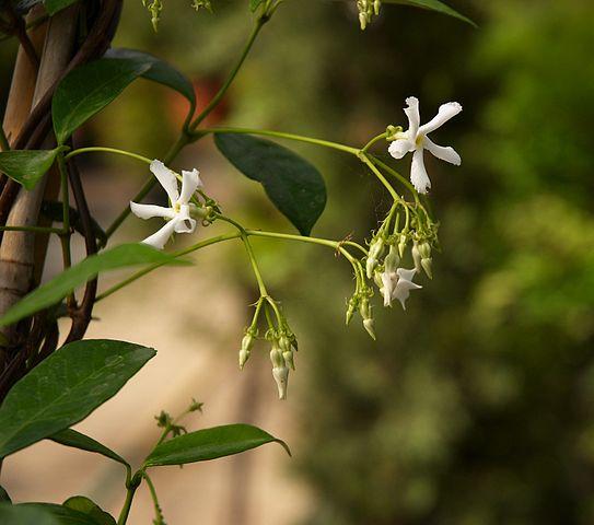 Confederate jasmine