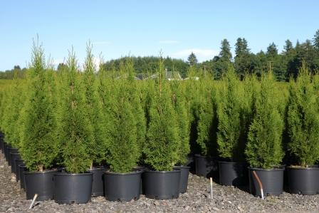 Larger sizes of Arborvitae have been difficult to find