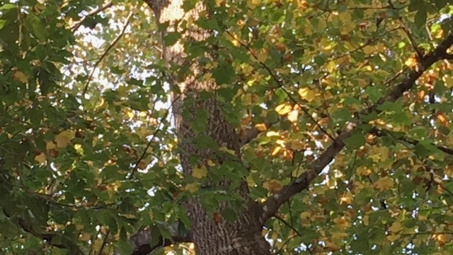 Tulip poplar with leaves yellowing due to dry conditions. These leaves will drop soon. It's not technically a drought, but the tree is reacting like it's in one.